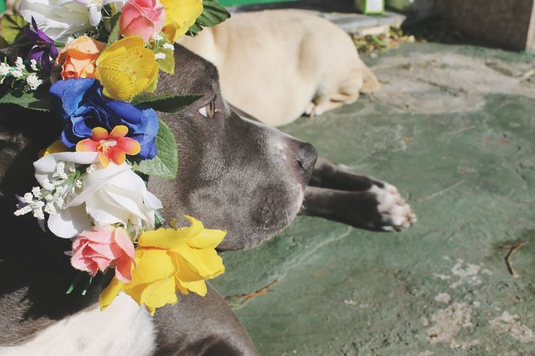 Flower Dog Pets Lovedogs Cute Boy Beauty Animal Lovely Flowers Flower Dog Green Color Staffy Green Eyes Cute Pets One Animal Crazy Dog Puppy American Bully