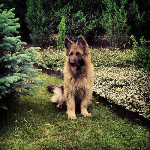 Heksa Owczarek Niemiecki Długowłosy German shepherd