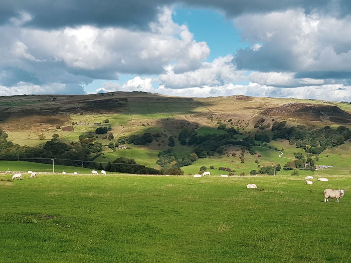 Sheep Grazing Fieldscape Field Todmorden Rural Scene Agriculture Hill Field Dramatic Sky Farm Sky Grass Landscape Cloud - Sky Countryside Moody Sky Atmospheric Mood Pasture Livestock Flock Of Sheep