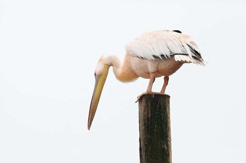 African Beauty Bird Watching Expectations In Balance In Balance With Nature Low Angle View Patience Pelican Pelican Hunting Fish Pelican On Pier Waiting For Prey Wildlife Wooden Post