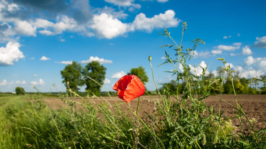 Poppy... Beauty In Nature Blue Cloud Countryside Field Flower Grass Green Color Growth Landscape Nature Non-urban Scene Plant Poppy Red Sky Tranquil Scene Wildflower
