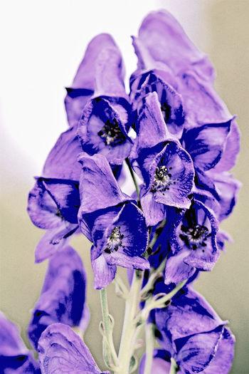 Blauer Eisenhut Eisenhut Giftpflanzen White Background Purple Petal Outdoors No People Nature Iris - Plant Growth Freshness Fragility Flower Head Flower Day Close-up Blue Beauty In Nature EyeEmNewHere Blauer Eisenhut