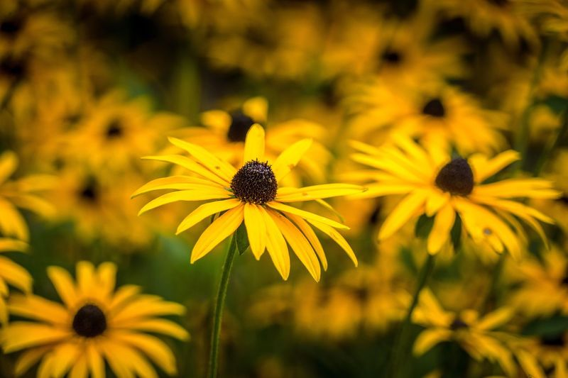 Vibrant Fragility Freshness Flower Yellow Flower Head Petal Beauty In Nature Growth Close-up Stem Nature Black-eyed Susan Plant In Bloom Focus On Foreground Pollen Botany Vibrant Color Blossom Blooming