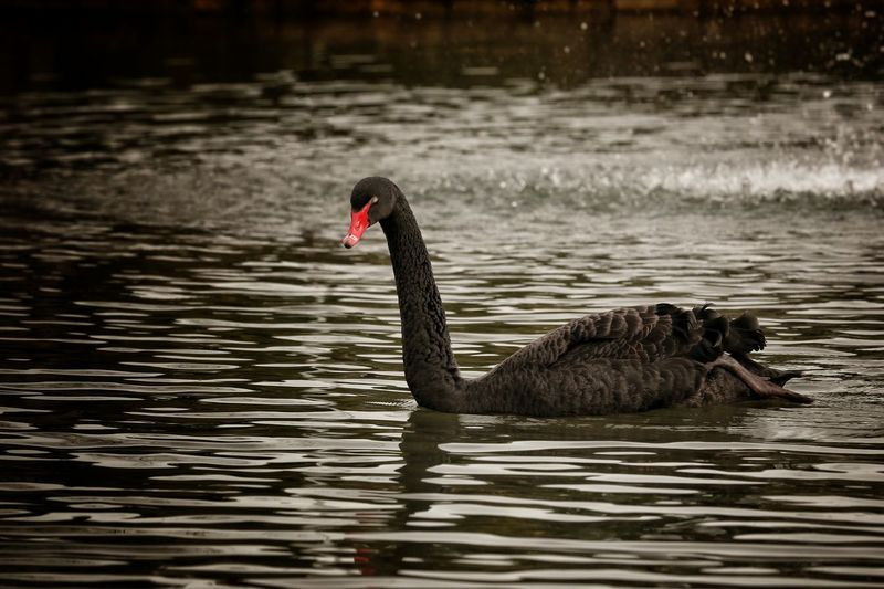 Black Swan Swimming In Water