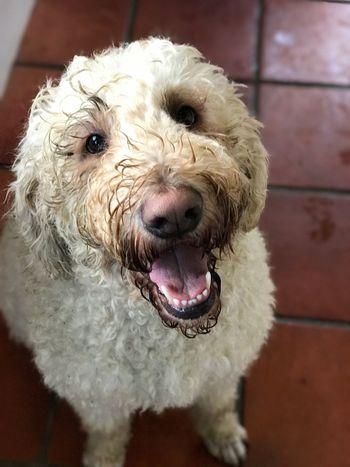 Muddy, happy goldendoodle Dog Goldendoodle
