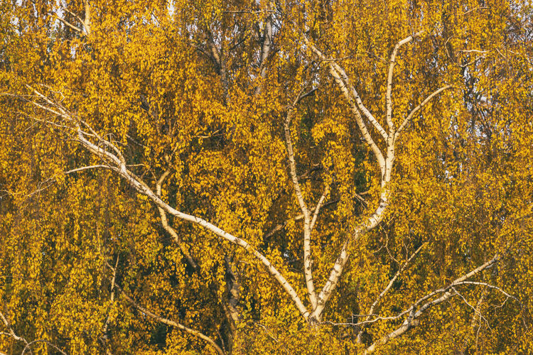 Full Frame Close-Up of Birch Tree in Autumn Berlin Germany 🇩🇪 Deutschland Color Image Outdoors No People Horizontal Birch Tree Plant Yellow Autumn Nature Forest Beauty In Nature Branch Tranquility WoodLand Leaf Plant Part Environment Growth Day Scenics - Nature Change