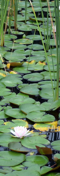Beauty In Nature Floating On Water Flower Freshness Green Color Nature Outdoors Plant Pond Tranquility Water Water Lily