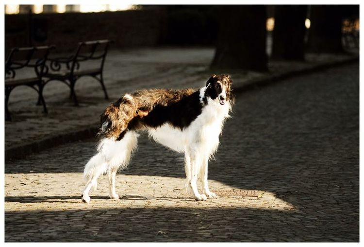 Leonard Dog Borzoi Male