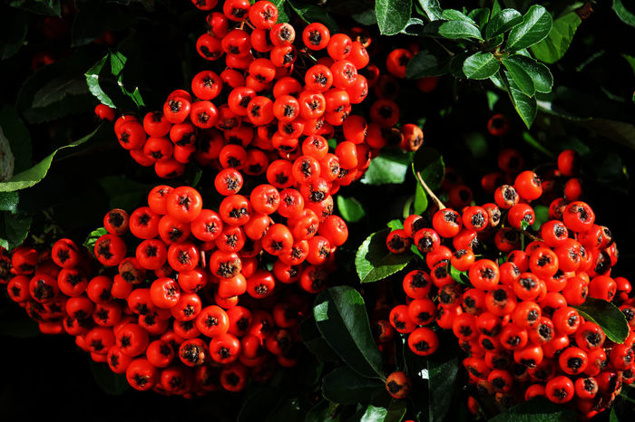 Taken while photographing the plane vapours. Berries Beauty In Nature Berry Fruit Close-up Day Flower Head Focus On Foreground Freshness Fruit Growth Leaf Nature No People Outdoors Plant Plant Part Pyracantha Berries Pyracantha Coccinea Red Ripe Wellbeing