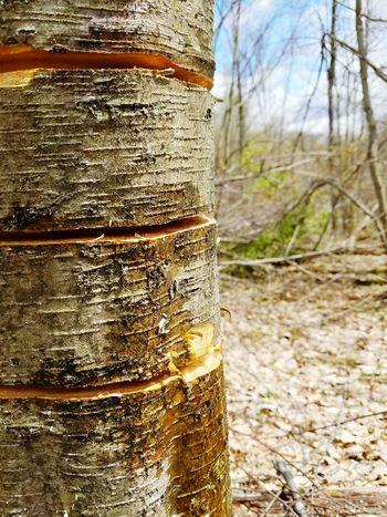Girdling black birch. Girdle Blackbirch Betulalenta Tree Tree Trunk Nature