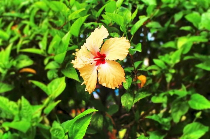 hibiscus Beauty In Nature Blooming Bunga Raya Close-up Day Flower Flower Head Freshness Green Color Growth Hibiscus Hibiscus Flower Leaf Nature No People Outdoors PetalPaint The Town Yellow Plant 1