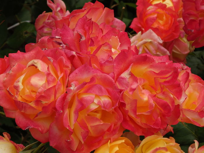 The roses in bloom. Bloom Blooming Close-up Colourful Flamboyant Flowers Freshness Garden In Bloom Pink Pink & Yellow Roses Summer The Roses In Bloom The Essence Of Summer