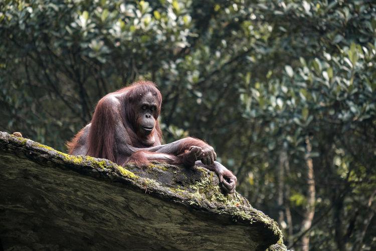 An old orangutan enjoying the sun on the big stone