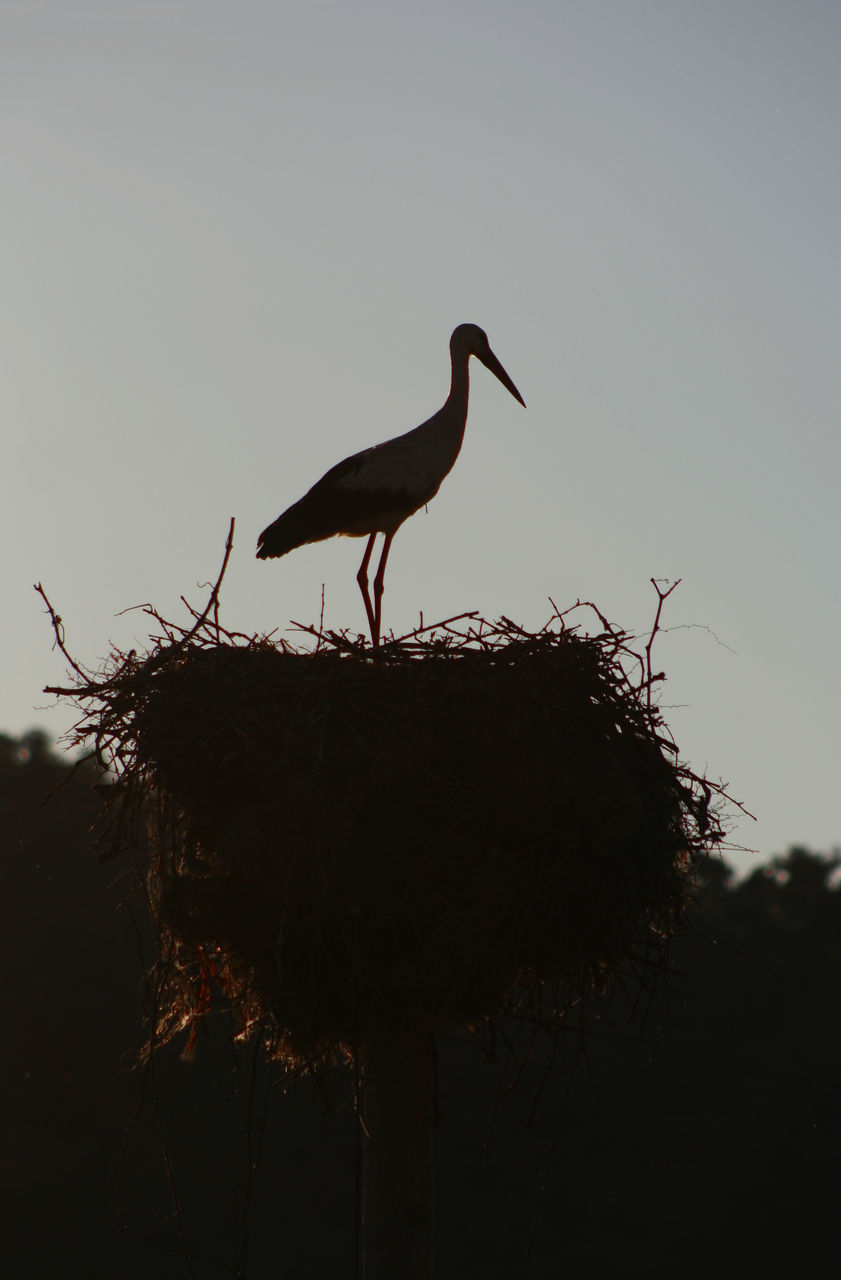 animals in the wild, animal themes, bird, one animal, animal wildlife, clear sky, perching, no people, stork, nature, outdoors, day, white stork, low angle view, tree, sky