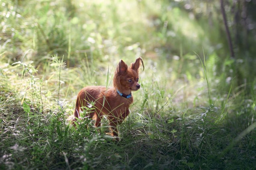 Red ray. Pets Grass Dog Domestic Animals Animal Themes One Animal Day No People Outdoors Nature Canon 50mm Sigma Beauty In Nature Countryside Forest Sun Light Siberia Toyterrier Pet Portraits