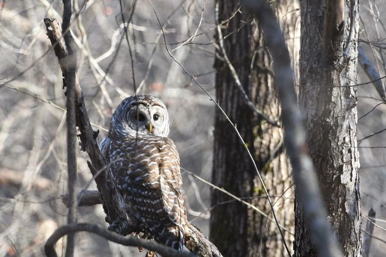 Barred Owl Nikonphotography Nature Photography Forest Life Bird Photography Life In The Forest Love Of Birds Natures Beauty Awesome Nature Bird Of Prey Bird Perching Owl Tree Looking At Camera Alertness Animal Themes Close-up Grass Moments Of Happiness