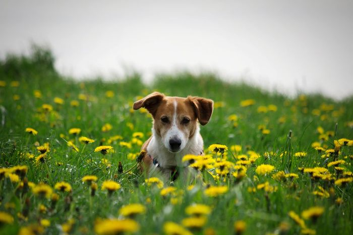 Dog Pets Animal Meadow Grass Cute Puppy Portrait Social Issues Flower One Animal Looking At Camera Summer Domestic Animals Beauty Nature Outdoors Day Rural Scene No People Beagle Doglover Dog Love Dogoftheday Dog Life