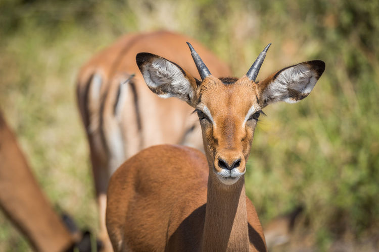 Portrait of impala standing in forest