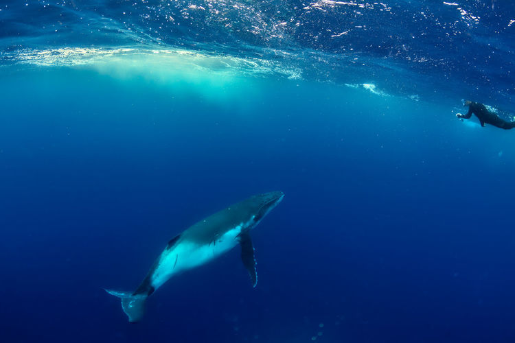 A baby humpback whale approaches a snorkeler in the pacific ocean near tonga.
