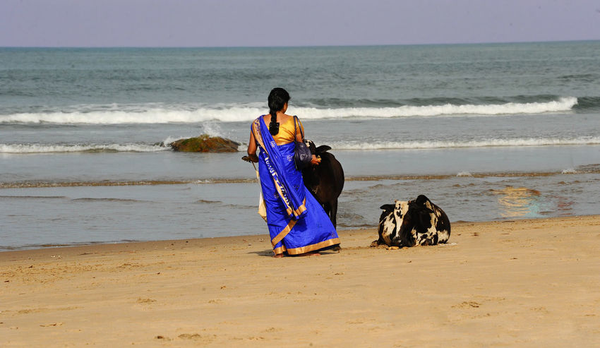 Indian woman is offering a cow some food Adult Beach Beauty In Nature Cow Cultural Divine Domestic Animals Feeding  Friendship Holy Ritual Horizon Over Water Nandi Nature Offering One Animal Outdoors People Real People Rear View Sand Saree Sea Sky Water Wave