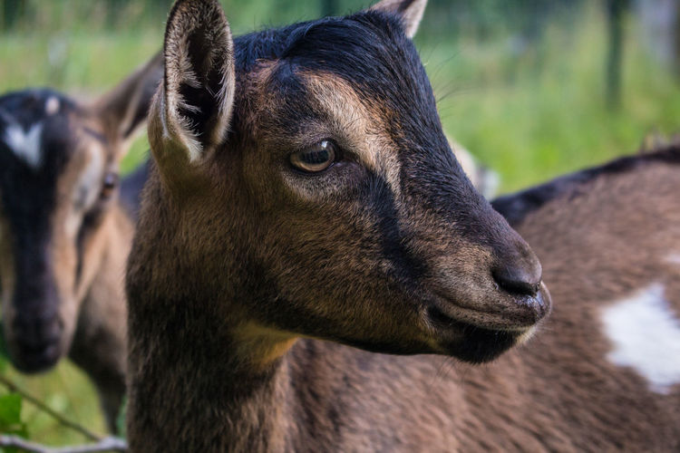 // Goats 🐐 One Animal Animal Body Part Mammal Animal Wildlife Animal Themes Animal Head  Outdoors Day No People Close-up Nature Domestic Animals Goat Goats Goat Life