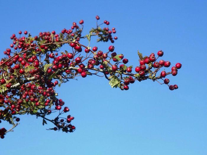 Low Angel View Of Red Berries Growing Against Clear Sky