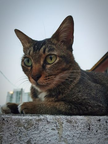 Fierce Cat Domestic Cat Pets Feline Domestic Animals Mammal Portrait One Animal Animal Themes Whisker Looking At Camera No People Sitting Outdoors Day Sky Close-up Relax Cat Sphinx