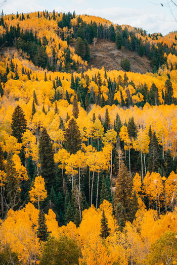High angle view of yellow autumn trees
