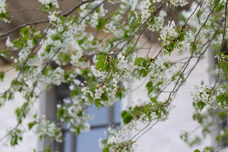 Plant Nature Outdoors No People Sakura Trees Sakura Blossom Sakura Building