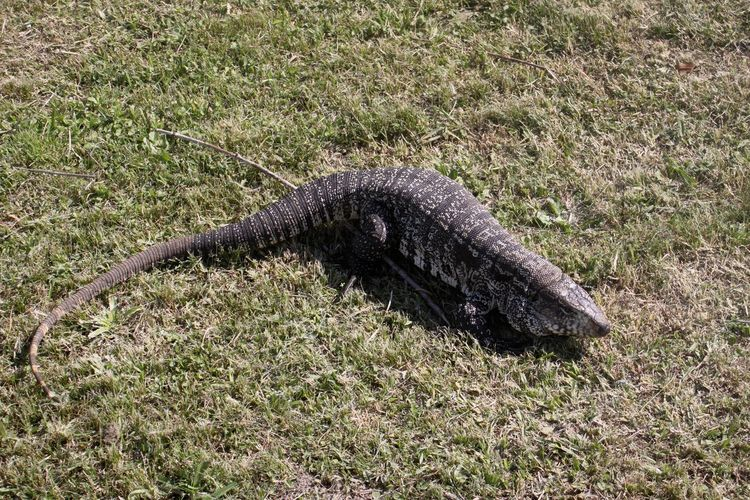They occur frequently in Uruguay and are not afraid either. If you leave the door open, they come into the house. Monitor Lizard Varanus Nature Uruguay Beauty In Nature Lizards Reptile No People