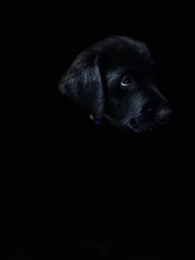 Dog looking away against black background