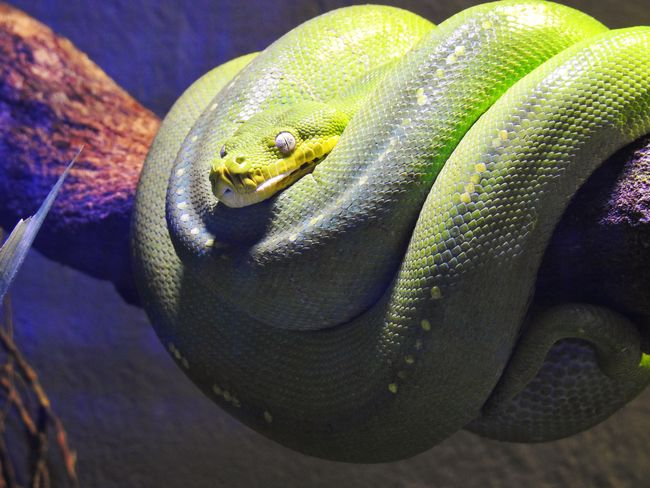 Green Tree Python Animal Themes Animal One Animal Animals In The Wild Reptile Animal Wildlife Vertebrate Close-up Snake Nature No People Animal Body Part Green Color Animal Head  Zoology Natural Pattern