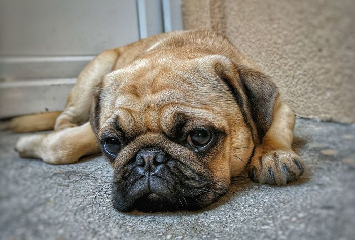 Dog One Animal Mammal Animal Themes Pets Animal Pug Lying Down Domestic Animals Relaxation Portrait No People Day Indoors  Close-up Puppy Pug Pug Life  Puggy