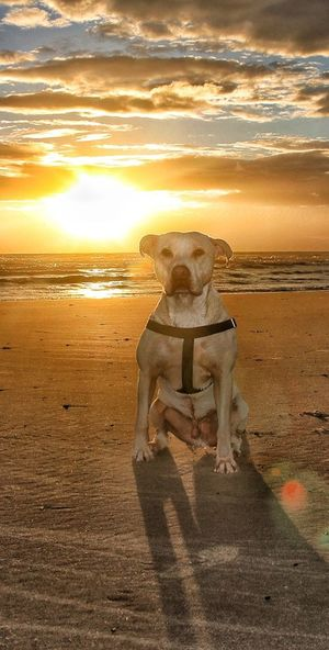 Sunset Beach Sea Animal Nature Sky Sand One Animal Outdoors Water No People Mammal Portrait Beauty In Nature Animal Themes Day Rednose Pitbull Rednosepit Americanrednosepit Pitbull