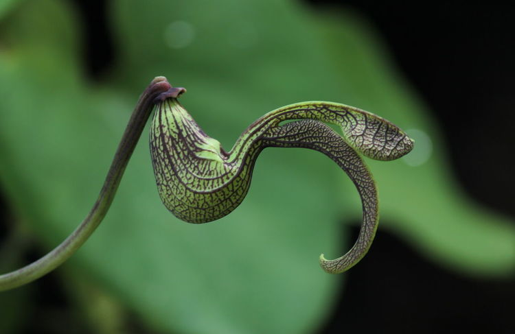 Fantastic Thai Flower, Aristolochiaceae vine in Thai Vines Aristolochia Ringens Aristolochiaceae Chicken Interesting Sawn Timber Amazing Birds Blossom Close-up Creeper Plant Fantasy Tree Focus On Foreground Green Color Heart-shaped Leaf Nature Nature Beauty Nest Outdoors Plant Purple Scarce Spiral Thai Flower Tree
