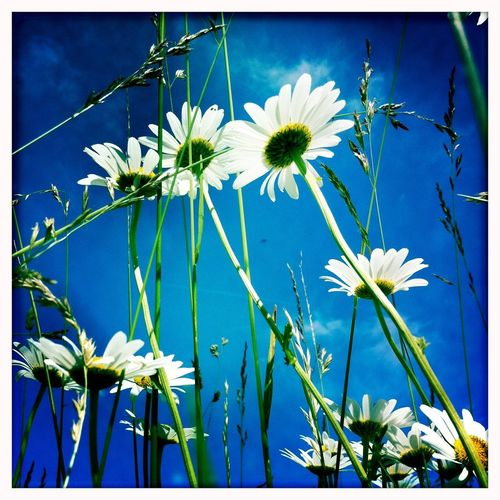 white flowers against blue sky Bayern Germany Blau Blauer Himmel Wiesenblume Natur Macro Low Angle View Blume Flowering Plant Flower Plant Freshness Beauty In Nature Growth Vulnerability  Nature Close-up Blue Sky