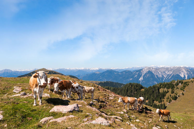 Cow pasture on the mountains Mountain Animal Themes Mammal Animal Livestock Group Of Animals Mountain Range Domestic Environment Landscape Scenics - Nature Sky Cloud - Sky Pets Animal Wildlife Nature Cow Cattle Land No People Herd Outdoors
