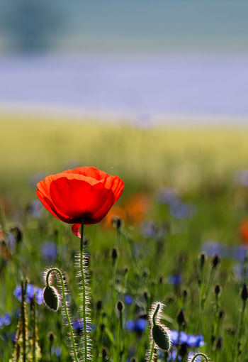 Beauty In Nature Blooming Close-up Day Field Flower Flower Head Focus On Foreground Fragility Freshness Grass Green Color Growth Nature No People Outdoors Petal Plant Poppy Red Selective Focus Springtime Tranquility The Week On EyeEm