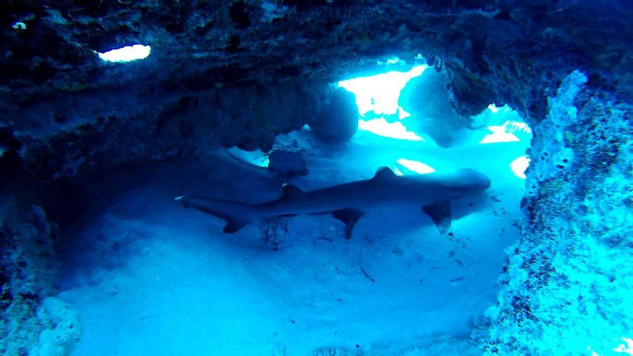 Underwater Under The Sea Danger Animals Animal Animal_collection Animals In The Wild Shark SCUBA Scubadiving White Tip Blue Whitetip Reef Shark