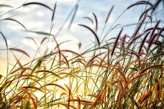 ดอกหญ้า ข้างทาง Growth Nature Cereal Plant Low Angle View Plant Sky Day Close-up Rural Scene No People Grass Agriculture Wheat Beauty In Nature Timothy Grass Outdoors