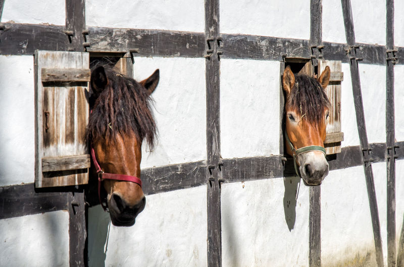 Horses looking out of barn windows Barn Deutschland Rural Animal Wildlife Brown Fur Brown Hair Close-up Domestic Animals Ear Europe Eye Farm Building Farming Farming Animal Farming Animals Fur Germany Half-timbered Horse Horse Riding Mammal Mammals Stable Stables Window