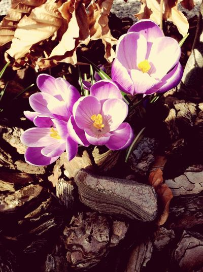 ~crocuses ? First Eyeem Photo Nature Flowers