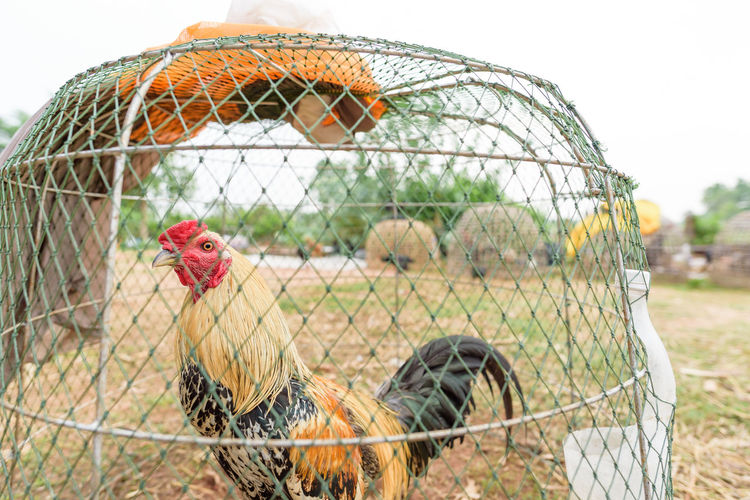 Thai Fighter cockerel Bird Animal Themes Animal Livestock Cage Vertebrate Domestic Animals Chicken - Bird Fence Birdcage Chicken Pets Domestic Male Animal Group Of Animals Nature Day Animals In Captivity No People Mammal Outdoors Cockerel Rooster Poultry Rural Scene Countryside