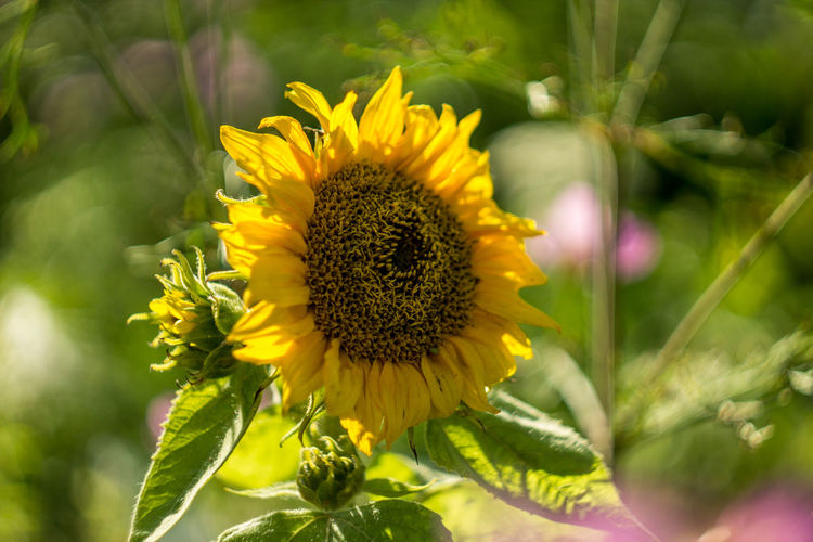 Belarus Minsk Beauty In Nature Close-up Day Flower Flower Head Flowering Plant Focus On Foreground Fragility Freshness Growth Inflorescence Leaf Nature No People Outdoors Petal Plant Plant Part Pollen Sunflower Vulnerability  Yellow