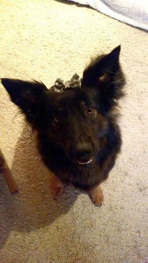 Lilo♡ 😚 One Animal Dog❤ Hund Border Collie Eurasier Mix Zuhause 💕 No People Beauty In Nature 🌸good Day Meine Prinzessin 👑 🎀 Indoors  Portrait Pets Mylovestory❤:) Germany Beauty Zuhauseistamschönsten Bestdog🐶 Niemehrgebeichdichher !!! Niemehrohnedich 🐶🐶♡♡
