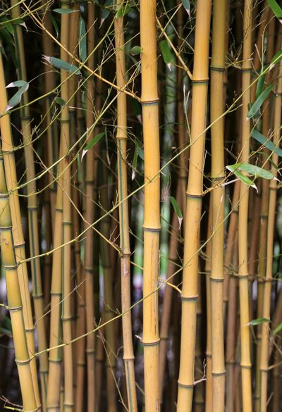 Growth Freshness Fragility Beauty In Nature Spa Bamboo Leaves Bamboo Tree... Bamboo - Plant Bamboo Shoot Bamboo Forest Bamboo Groves Bamboo Canes Bamboo - Material Bamboo Tree Bamboo Trees Bamboo Leaf Zen Branch Nature Plant