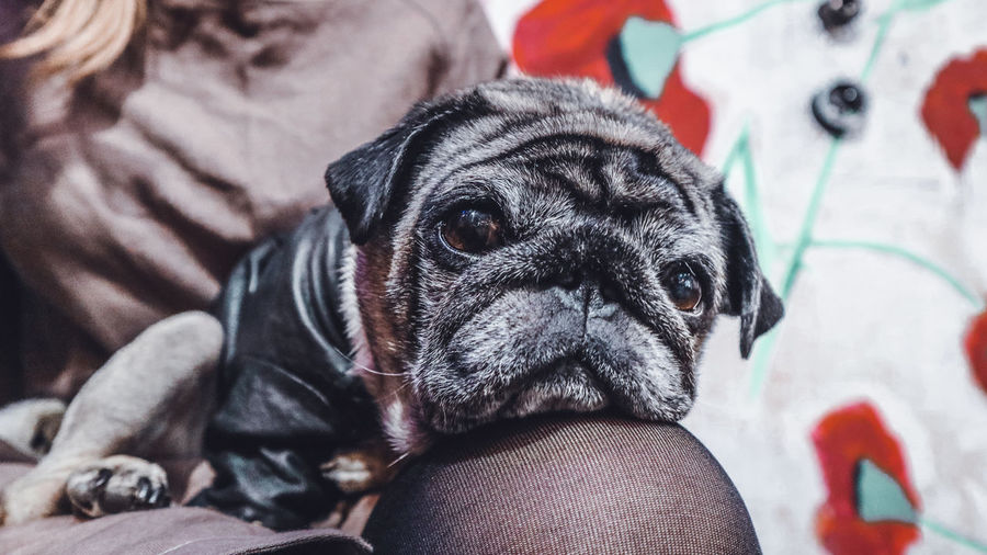 Pug-dog laying on knees and waiting of spring EyeEm Best Shots EyeEm Selects Pug Pug Dog Pets Pets Portrait Dog Looking At Camera Close-up Puppy Small