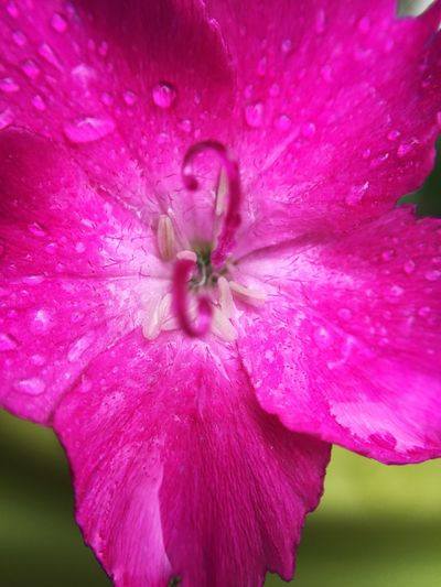 Macro Close Up Pink Pink Flower Plant Foliage Flower Closeup Macro Photography Close-up Flower Head Growth Cerise  Wet Water Droplets Glisten Glistening