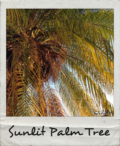 Sunlit Palm Tree Mikefl99 Taking Photos Enjoying Life Cameraneverstops Streamzoofamily Check This Out Nature Poloroid EyeEm Nature Lover Beautiful Sunlight