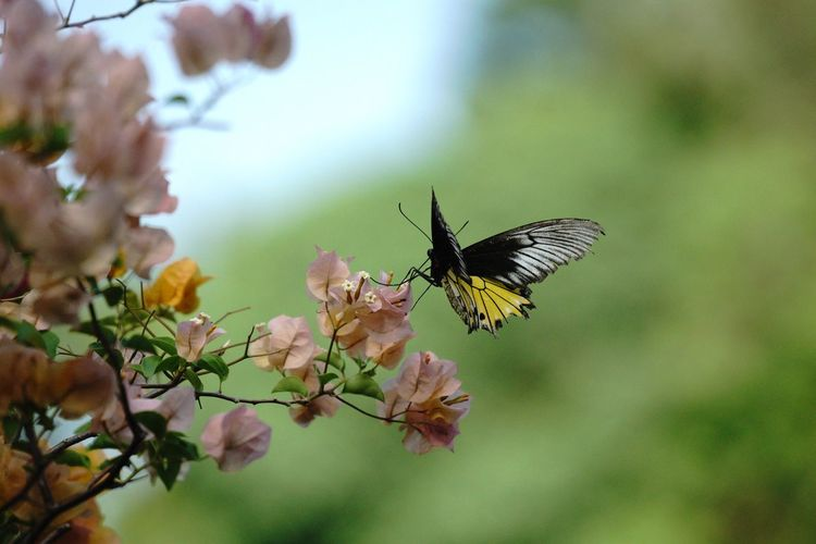 Tricolor Animal Wildlife Insect Invertebrate Animal Themes Animals In The Wild Animal Beauty In Nature Flower Butterfly - Insect Close-up Flowering Plant Fragility Focus On Foreground Freshness Vulnerability  Plant Animal Wing One Animal Nature Day